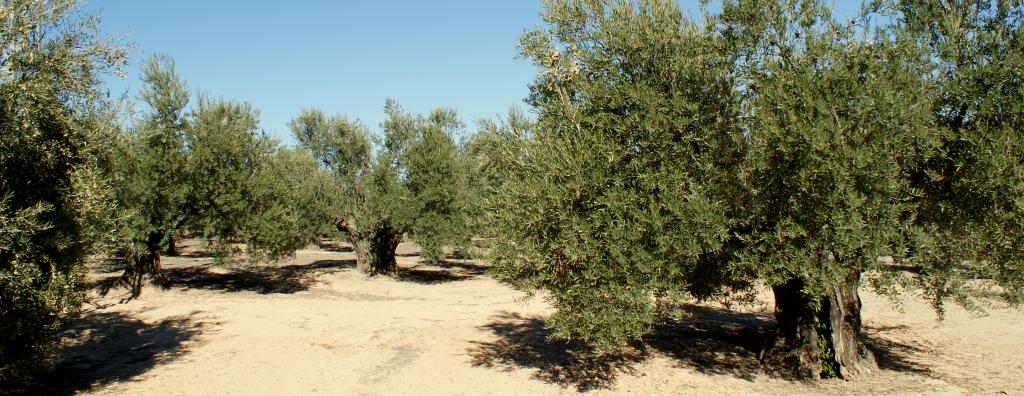 aceite-de-oliva-virgen-extra-premium-olivos-centenarios-oil-love-you